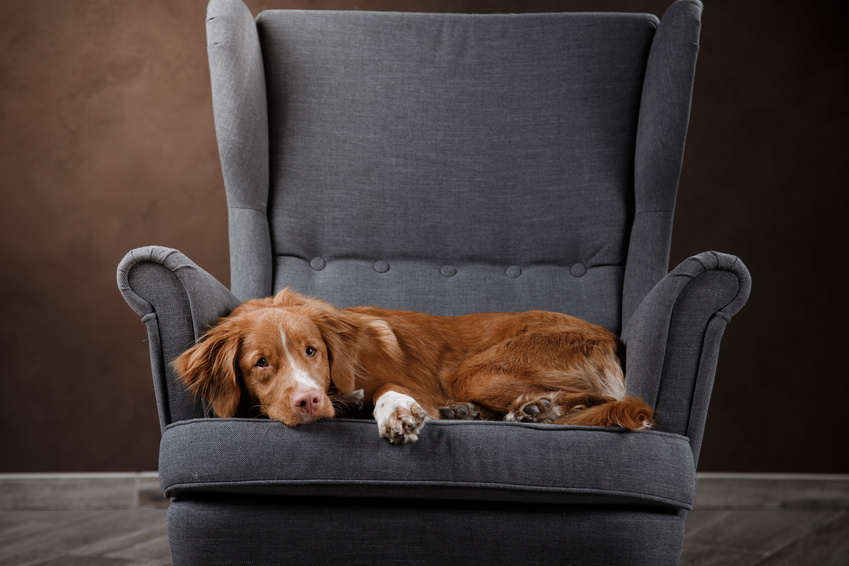 Dog Nova Scotia Duck Tolling Retriever, portrait dog on a studio color background, dog lying on a chair in the studio