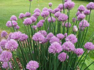 800px-Allium_schoenoprasum_in_NH_01